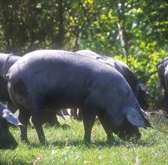 Elevage GRAU - Porc Noir de Bigorre